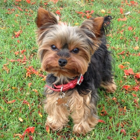 Molly the 1.4kg Yorkshire Terrier recently completed her first Parkrun.